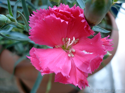 Pink color Carnation -Clove Pink- flower. <i>(Family: Caryophyllaceae, Species: Dianthus caryophyllus)</i> <br>Photo Date: May 2005, Location: Turkey/Istanbul, By: Artislamic.com