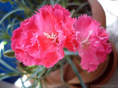 Pembe Karanfil çiçeği resmi. <i>(Ailesi: Caryophyllaceae, Türü: Dianthus caryophyllus)</i> <br>Çekim Tarihi: Mayıs 2005, Yer: İstanbul, Fotoğraf: islamiSanat.net