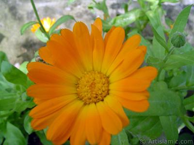 Papatyagiller ailesinden sarı papatyayı da andıran koyu turuncu renkte `Ayn-ı Sefa` çiçeği resmi. <i>(Ailesi: Asteraceae / Compositae, Türü: Calendula officinalis)</i> <br>Çekim Tarihi: Haziran 2005, Yer: Trabzon, Fotoğraf: islamiSanat.net