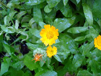 Papatyagiller ailesinden sarı papatyayı da andıran koyu turuncu renkte `Ayn-ı Sefa` çiçeği resmi. <i>(Ailesi: Asteraceae / Compositae, Türü: Calendula officinalis)</i> <br>Çekim Tarihi: Temmuz 2005, Yer: Trabzon, Fotoğraf: islamiSanat.net