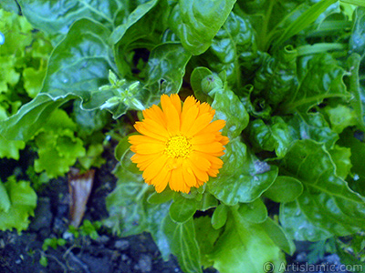 Dark orange color Pot Marigold -Scotch Marigold- flower which is similar to yellow daisy.