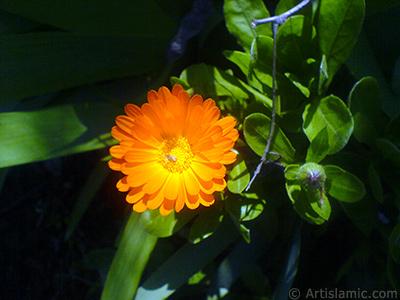 Papatyagiller ailesinden sarı papatyayı da andıran koyu turuncu renkte `Ayn-ı Sefa` çiçeği resmi. <i>(Ailesi: Asteraceae / Compositae, Türü: Calendula officinalis)</i> <br>Çekim Tarihi: Nisan 2007, Yer: Sakarya, Fotoğraf: islamiSanat.net