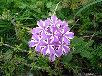 Yer minesi çiçeği resmi. <i>(Ailesi: Verbenaceae, Türü: Verbena)</i> <br>Çekim Tarihi: Ağustos 2008, Yer: Yalova-Termal, Fotoğraf: islamiSanat.net