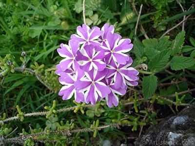 Verbena -Common Vervain- flower. <i>(Family: Verbenaceae, Species: Verbena)</i> <br>Photo Date: August 2008, Location: Turkey/Yalova-Termal, By: Artislamic.com
