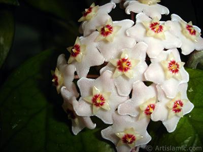 Mum Çiçeği resmi. <i>(Ailesi: Asclepiadaceae, Türü: Hoya carnosa)</i> <br>Çekim Tarihi: Temmuz 2010, Yer: İstanbul-Annemin Çiçekleri, Fotoğraf: islamiSanat.net