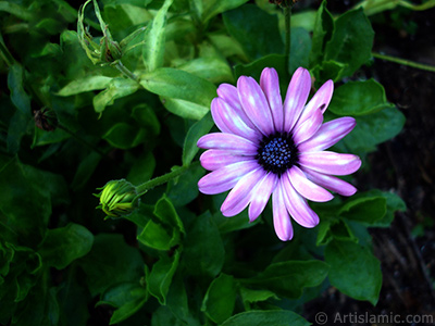 Pink color Trailing African Daisy -Freeway Daisy, Blue Eyed Daisy- flower. <i>(Family: Asteraceae, Species: Osteospermum fruticosum, Dimorphotheca fruticosa)</i> <br>Photo Date: July 2005, Location: Turkey/Trabzon, By: Artislamic.com