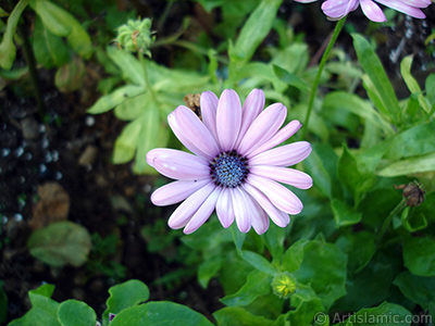 Pink color Trailing African Daisy -Freeway Daisy, Blue Eyed Daisy- flower.