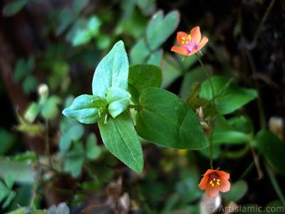 Süs yoncası çiçeği resmi. <i>(Ailesi: Oxalidaceae, Türü: Oxalis)</i> <br>Çekim Tarihi: Haziran 2006, Yer: İstanbul-Annemin Çiçekleri, Fotoğraf: islamiSanat.net