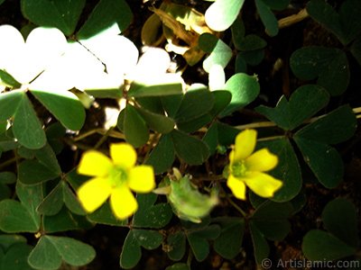Süs yoncası çiçeği resmi. <i>(Ailesi: Oxalidaceae, Türü: Oxalis)</i> <br>Çekim Tarihi: Temmuz 2006, Yer: İstanbul-Annemin Çiçekleri, Fotoğraf: islamiSanat.net