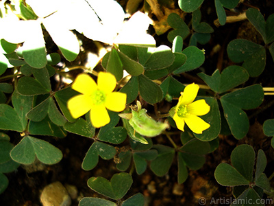 Shamrock -Wood Sorrel- flower. <i>(Family: Oxalidaceae, Species: Oxalis)</i> <br>Photo Date: July 2006, Location: Turkey/Istanbul-Mother`s Flowers, By: Artislamic.com