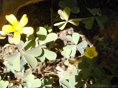 Shamrock -Wood Sorrel- flower. <i>(Family: Oxalidaceae, Species: Oxalis)</i> <br>Photo Date: August 2006, Location: Turkey/Istanbul-Mother`s Flowers, By: Artislamic.com