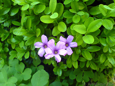 Shamrock -Wood Sorrel- flower.