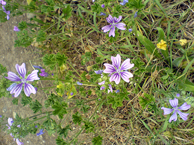 Purple color Erica flower. <i>(Family: Ericaceae, Species: Erica)</i> <br>Photo Date: May 2007, Location: Turkey/Sakarya, By: Artislamic.com