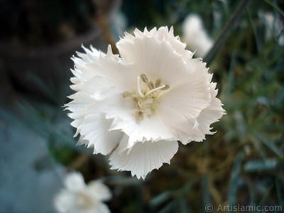 White color Carnation -Clove Pink- flower. <i>(Family: Caryophyllaceae, Species: Dianthus caryophyllus)</i> <br>Photo Date: June 2006, Location: Turkey/Istanbul-Mother`s Flowers, By: Artislamic.com