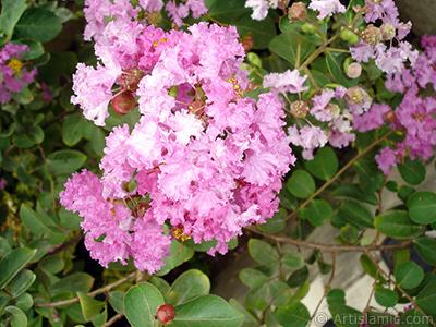 Oya ağacının pembe çiçeğinin resmi. <i>(Ailesi: Lythraceae, Türü: Lagerstroemia indica)</i> <br>Çekim Tarihi: Ağustos 2008, Yer: Yalova-Termal, Fotoğraf: islamiSanat.net