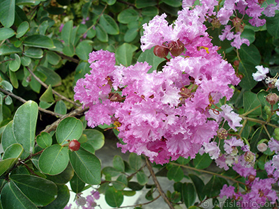 Crape Myrtle -Crepe Myrtle- flower. <i>(Family: Lythraceae, Species: Lagerstroemia indica)</i> <br>Photo Date: August 2008, Location: Turkey/Yalova-Termal, By: Artislamic.com