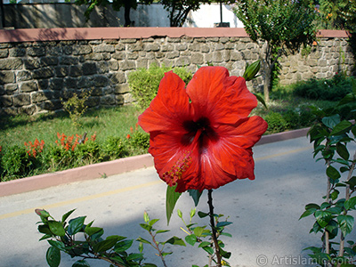 A red color Japanese Rose, -Chinese Rose, Tropical Hibiscus, Shoe Flower-. <i>(Family: Malvaceae, Species: Hibiscus rosa-sinensis)</i> <br>Photo Date: August 2005, Location: Turkey/Yalova-Termal, By: Artislamic.com