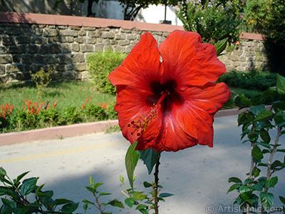 Kırmızı renkli Japon Gülü -Çin Gülü- çiçeği resmi. <i>(Ailesi: Malvaceae, Türü: Hibiscus rosa-sinensis)</i> <br>Çekim Tarihi: Ağustos 2005, Yer: Yalova-Termal, Fotoğraf: islamiSanat.net