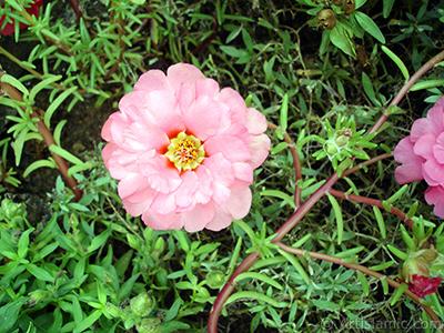 Pembe semizotu çiçeği resmi. <i>(Ailesi: Portulacaceae, Türü: Portulaca grandiflora)</i> <br>Çekim Tarihi: Ağustos 2008, Yer: Yalova-Termal, Fotoğraf: islamiSanat.net
