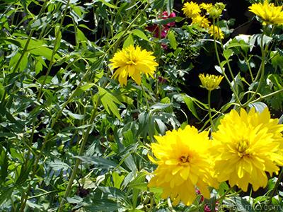Sarı Kanarya Gülü çiçeği resmi. <i>(Ailesi: Rosaceae, Türü: Kerria Japonica Pleniflora)</i> <br>Çekim Tarihi: Temmuz 2005, Yer: Trabzon, Fotoğraf: islamiSanat.net