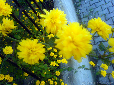 Yellow color Double Kerria -Wild Rose, Japanese Rose- flower.