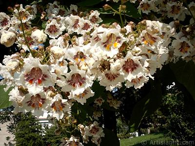 Katalpa Ağacı ve çiçeğinin resmi. <i>(Ailesi: Bignoniaceae, Türü: Catalpa bignonioides)</i> <br>Çekim Tarihi: Ocak 2002, Yer: Bursa, Fotoğraf: islamiSanat.net