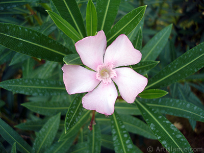 Zakkum Ağacının pembe çiçeğinin resmi. <i>(Ailesi: Apocynaceae, Türü: Nerium oleander)</i> <br>Çekim Tarihi: Eylül 2005, Yer: Bursa, Fotoğraf: islamiSanat.net