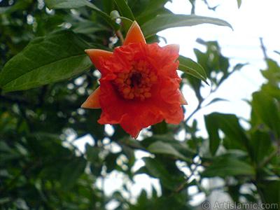 Pomegranate`s flower. -Other names: Anar, Granada, Grenade, Granaatappel, Pomo Granato, Romeira, Melo Grano-. <i>(Family: Punicaceae, Species: Punica granatum)</i> <br>Photo Date: August 2007, Location: Turkey/Sakarya, By: Artislamic.com