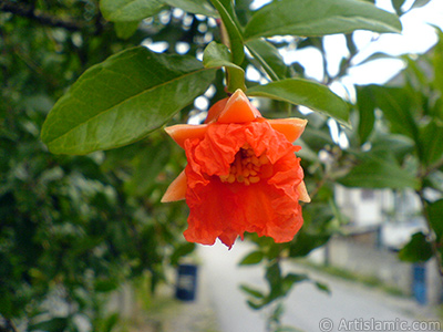 Pomegranate`s flower.