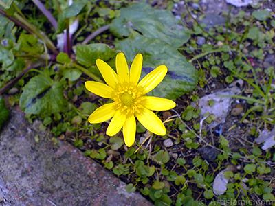 Papatyagiller ailesinden, sarı papatyayı andıran sarı bir çiçek resmi. <i>(Ailesi: Asteraceae / Compositae, Türü: Corymbioideae)</i> <br>Çekim Tarihi: Şubat 2011, Yer: Yalova-Termal, Fotoğraf: islamiSanat.net