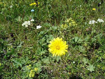 A yellow color flower from Asteraceae Family similar to yellow daisy. <i>(Family: Asteraceae / Compositae, Species: Corymbioideae)</i> <br>Photo Date: July 2005, Location: Turkey/Trabzon, By: Artislamic.com