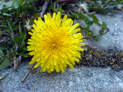 A yellow color flower from Asteraceae Family similar to yellow daisy. <i>(Family: Asteraceae / Compositae, Species: Corymbioideae)</i> <br>Photo Date: April 2007, Location: Turkey/Sakarya, By: Artislamic.com