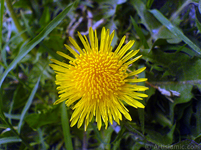 A yellow color flower from Asteraceae Family similar to yellow daisy. <i>(Family: Asteraceae / Compositae, Species: Corymbioideae)</i> <br>Photo Date: May 2007, Location: Turkey/Sakarya, By: Artislamic.com