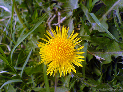 A yellow color flower from Asteraceae Family similar to yellow daisy.