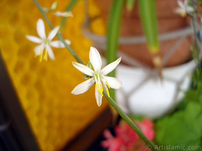 A plant with tiny white flowers looks like mini lilies.