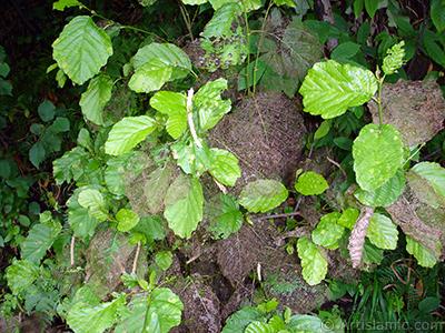 Yaprakları ağaç kurtları ve böcekler tarafından yenmiş bir bitkinin resmi. <br>Çekim Tarihi: Temmuz 2005, Yer: Trabzon, Fotoğraf: islamiSanat.net